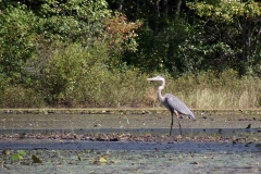 Great-Blue-Heron,-Wood-River