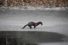 Mink-with-fish-on-ice