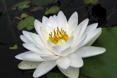 Fragrent-White-Water-Lilly